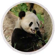 Panda Bear With Teeth Showing While He Was Eating Bamboo Round Beach Towel