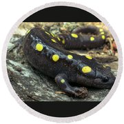 Pennsylvania Spotted Salamander Round Beach Towel