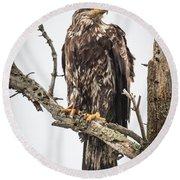 Perched Juvenile Eagle Round Beach Towel