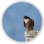 Perched Peregrine Falcon Round Beach Towel