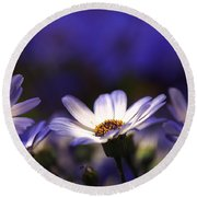 Pericallis On A Cool Spring Evening 4 Round Beach Towel