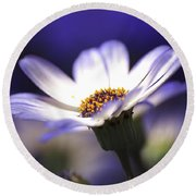 Pericallis On A Cool Spring Evening Round Beach Towel