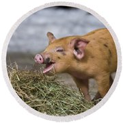 Piglet Eating Hay Round Beach Towel