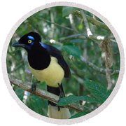 Plush-crested Jay   Cyanocorax Chrysops Round Beach Towel