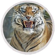 Portrait Of A Growling Tiger  Round Beach Towel