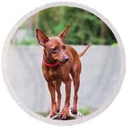 Portrait Of Red Miniature Pinscher Dog Round Beach Towel