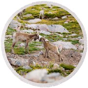 Practicing Baby Bighorn Sheep On Mount Evans Colorado Round Beach Towel