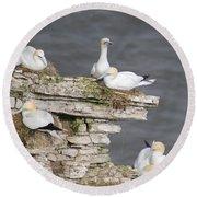 Precarious Nesting Bempton Gannets Round Beach Towel