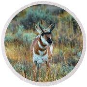 Pronghorn Antelope Amid Fall Foliage Wyoming Round Beach Towel