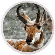 Pronghorn Buck In Snow - Yellowstone National Park Round Beach Towel