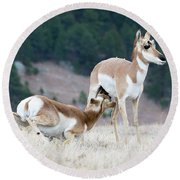 Pronghorn Feeding Round Beach Towel