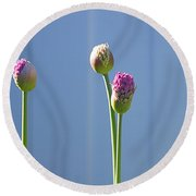 Purple Allium Buds In Early Spring Round Beach Towel