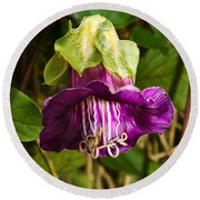Purple Flower Of The Vine Known As Cathedral Bells Round Beach Towel