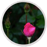 Rain Covered Pink Rose And Buds Round Beach Towel