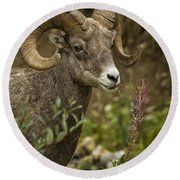 Ram Eating Fireweed Cropped Round Beach Towel