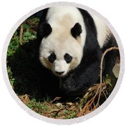 Really Sweet Giant Panda Bear Waddling Around Round Beach Towel