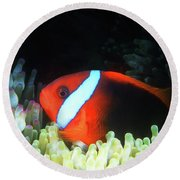 Red And Black Anemonefish, Great Barrier Reef Round Beach Towel
