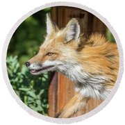 Red Fox Vixen On The Hunt Round Beach Towel