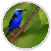 Red-legged Honeycreeper Round Beach Towel
