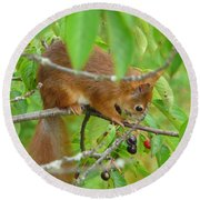 Red Squirrel In The Cherry Tree Round Beach Towel