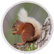 Red Squirrel On Tree Round Beach Towel