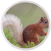 Red Squirrel Pauses Round Beach Towel