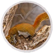 Red Squirrel Pictures 145 Round Beach Towel