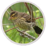 Redwing Blackbird - Immature Round Beach Towel