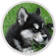 Resting Alusky Puppy Laying In Green Grass Round Beach Towel