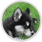 Resting Two Month Old Alusky Puppy Dog In Grass Round Beach Towel