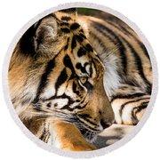 Resting Yet Watchful Tiger Round Beach Towel