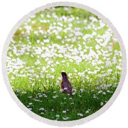 Robin In A Field Of Daisies Round Beach Towel