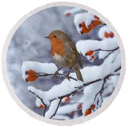 Robin On Snow-covered Rose Hips Round Beach Towel