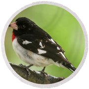 Rose-breasted Grosbeak Male Perched New Jersey  Round Beach Towel