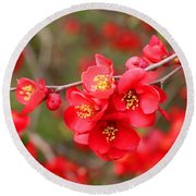Scarlet Quince Blooms Round Beach Towel