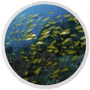 School Of Yellow Snapper, Great Barrier Round Beach Towel