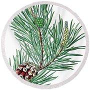 Scots Pine, Pinus Silvestris Round Beach Towel