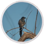 Scrub Jay Private Eye Round Beach Towel