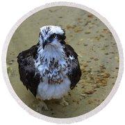 Sea Hawk Standing In Shallow Water Round Beach Towel