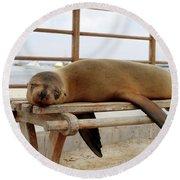 sea lion on a bench in Puerto Ayora, Santa Cruz Island, Galapagos Round Beach Towel