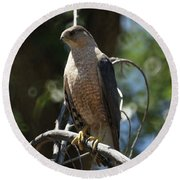 Sharp Shinned Hawk Round Beach Towel