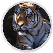 Siberian Tiger Executive Portrait Round Beach Towel