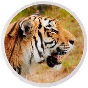 Siberian Tiger In Profile Round Beach Towel