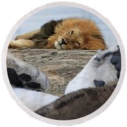 Siesta Time For Lions In Africa Round Beach Towel