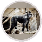Single Macaque Monkey Standing Round Beach Towel