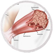 Skeletal Muscle Structure Round Beach Towel