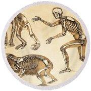Skeletons Of Man, Ape, Bear, 1860 Round Beach Towel