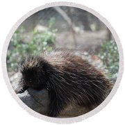 Sleeping Porcupine With Lots Of Quills Round Beach Towel
