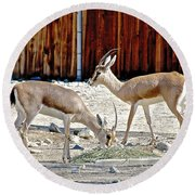 Slender-horned Gazelles In Living Desert Zoo And Gardens In Palm Desert-california Round Beach Towel