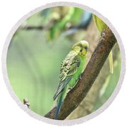 Small Budgie Birds With Beautiful Colored Feathers Round Beach Towel